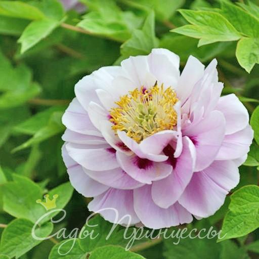 На фото сорт Пион Розовая Пудра