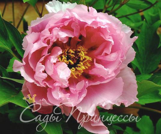 На фото сорт Пион Розовый Лотос