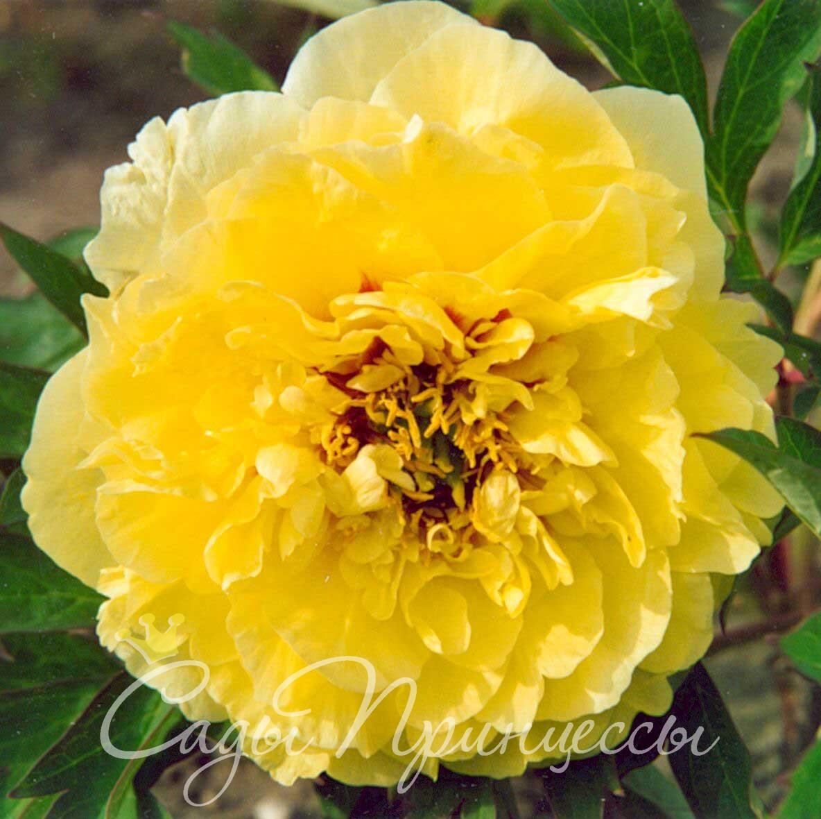 Фото Пион ИТО-гибрид Йеллоу Краун (Yellow Crown) травянистый;