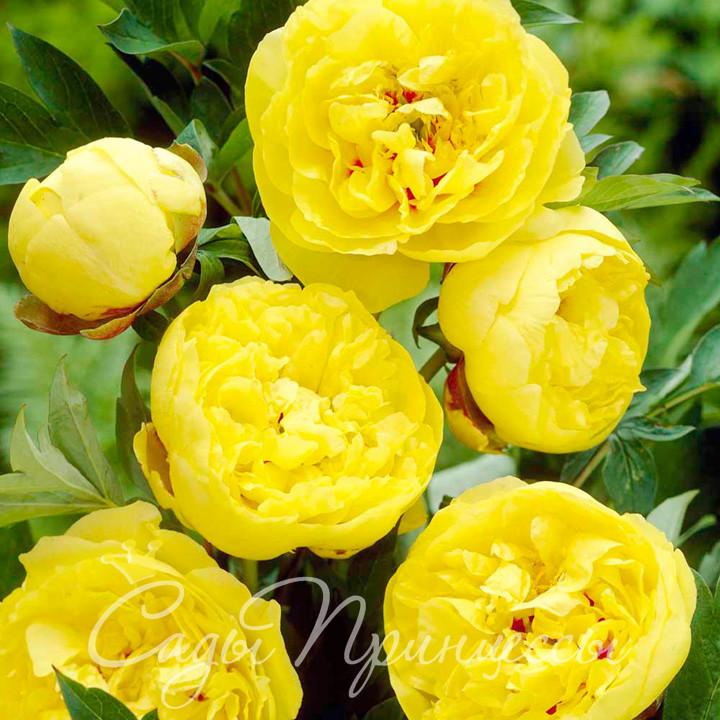 На фото саженцы Пион ИТО-гибрид Йеллоу Краун (Yellow Crown) травянистый