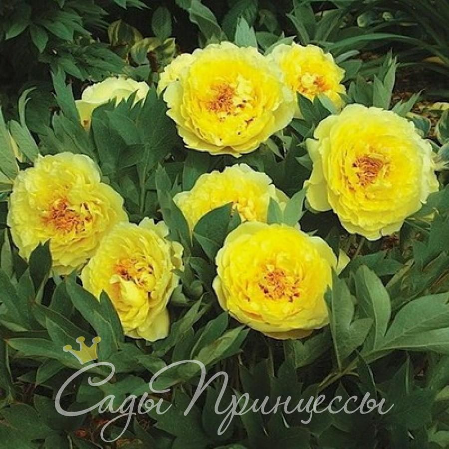 Фото Пион ИТО-гибрид Йеллоу Краун (Yellow Crown) травянистый
