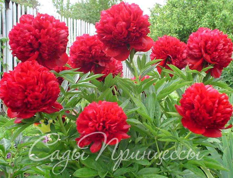 На фото саженцы Пион Ред Мэджик (Red Magic) травянистый