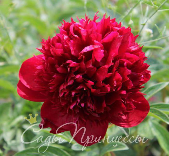 На фото сорт Пион Ред Мэджик (Red Magic) травянистый