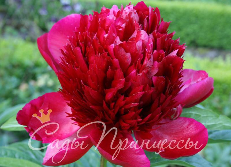 На фото сорт Пион Ред Шарм (Ред Чарм, Red Charm) травянистый