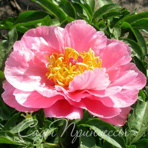 На фото сорт Пион Роял роуз травянистый