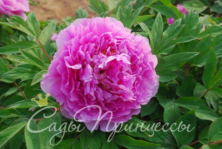 На фото сорт Пион Цветочная роса