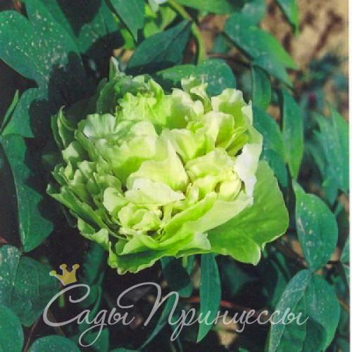 На фото сорт Пион Зеленые Бобы