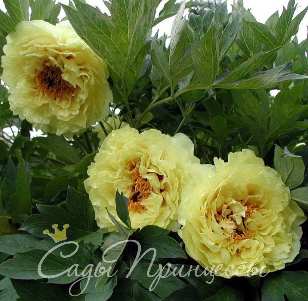 На фото сорт Пион желтый Ай Ли Се (Ai Li Si)