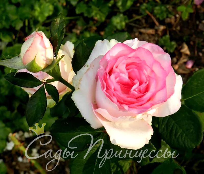 На фото сорт Роза Дольче Вита (Dolce Vita)