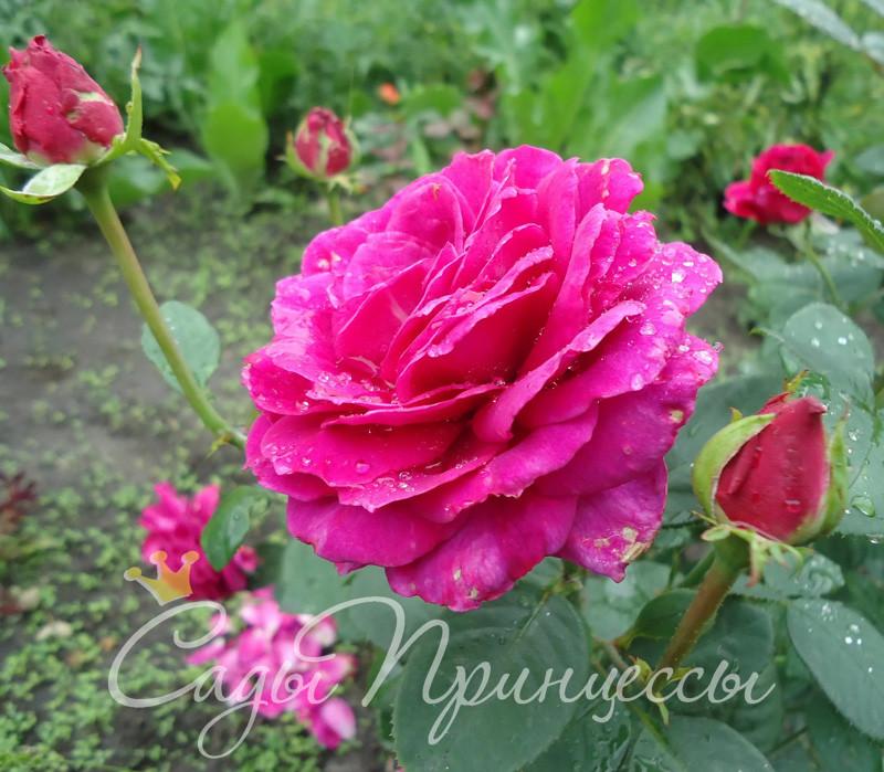На фото сорт Роза Юрианда (Yurianda)