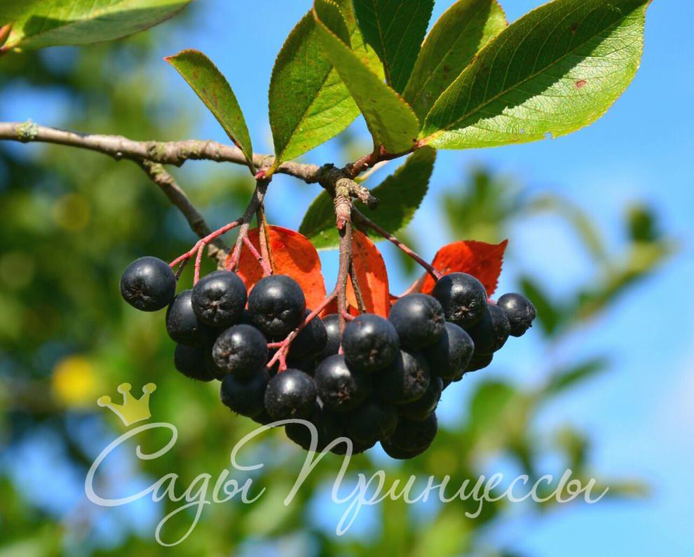 На фото сорт Рябина черноплодная (Арония) Черноокая