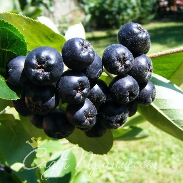 На фото сорт Рябина черноплодная (Арония) Неро