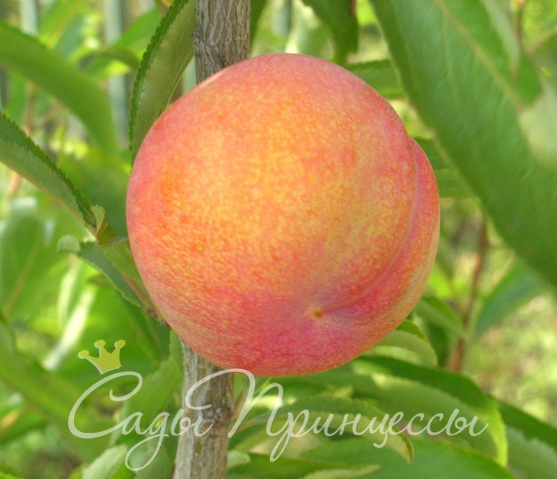 На фото сорт Шарафуга (гибрид абрикоса, сливы и персика — Bella Gold)