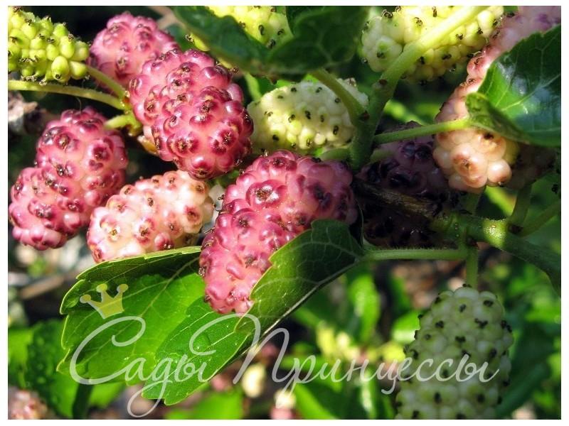 На фото сорт Шелковица Розовая медовая