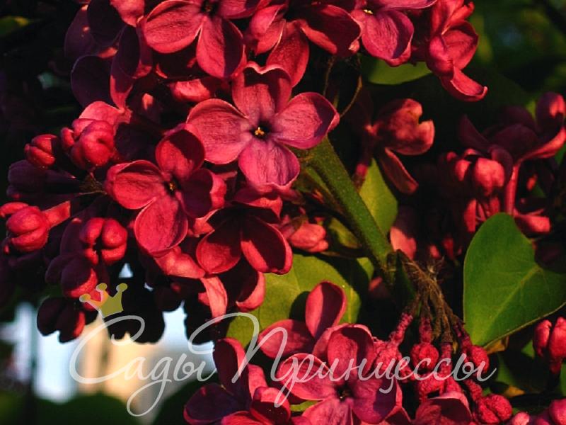 На фото саженцы Сирень обыкновенная Красная Москва