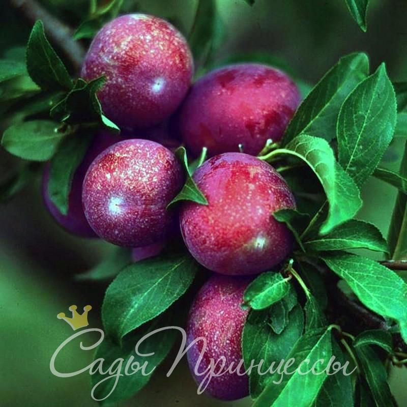 На фото сорт Сливово-вишневый гибрид Крошка