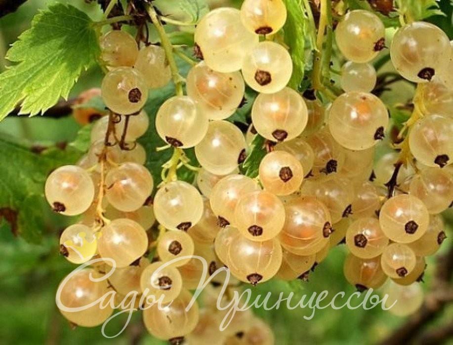 На фото сорт Смородина белая Версальская