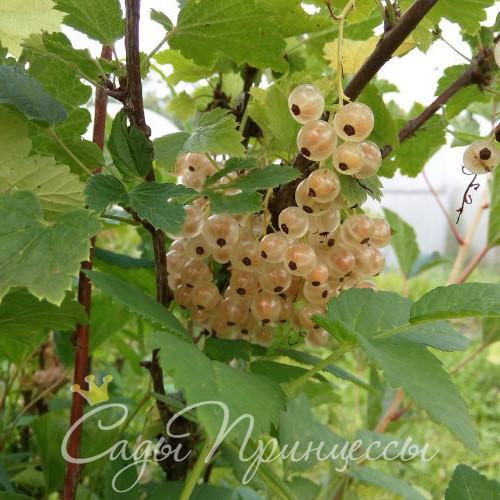 На фото сорт Смородина белая Виноградная
