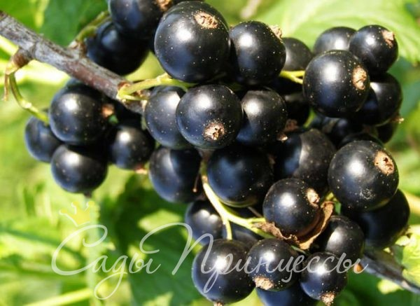 На фото сорт Смородина черная Багира