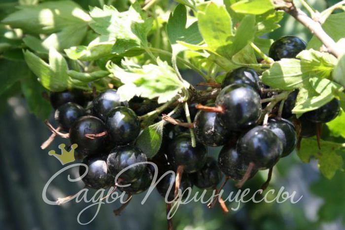 На фото сорт Смородина черная Черный жемчуг