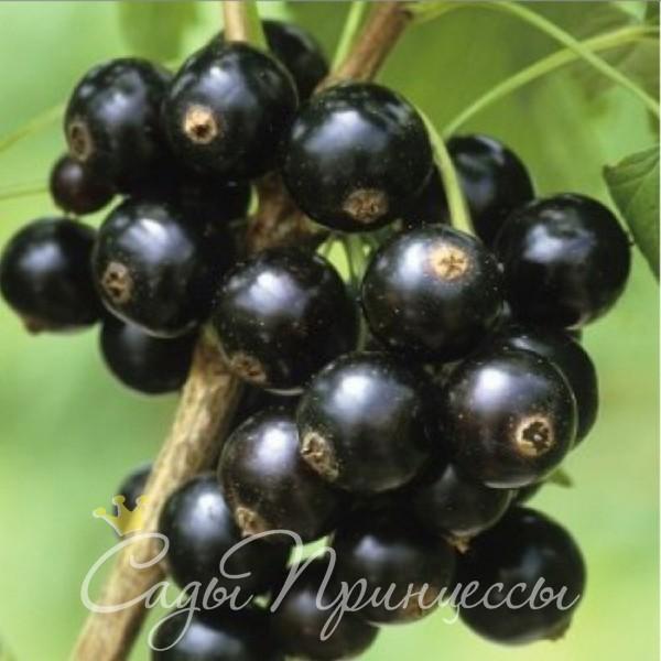 На фото сорт Смородина черная Гейша