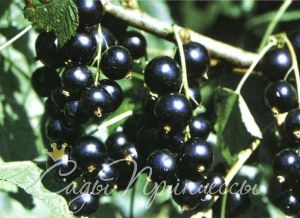 На фото сорт Смородина черная Гулливер