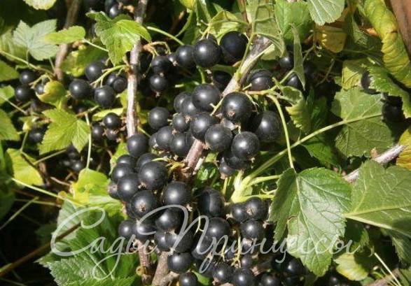 На фото сорт Смородина черная Катюша