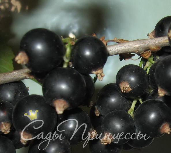 На фото сорт Смородина черная Купава