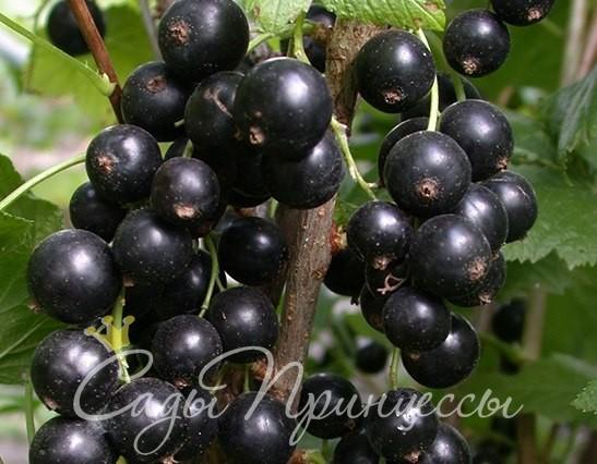 На фото сорт Смородина черная Лентяйка