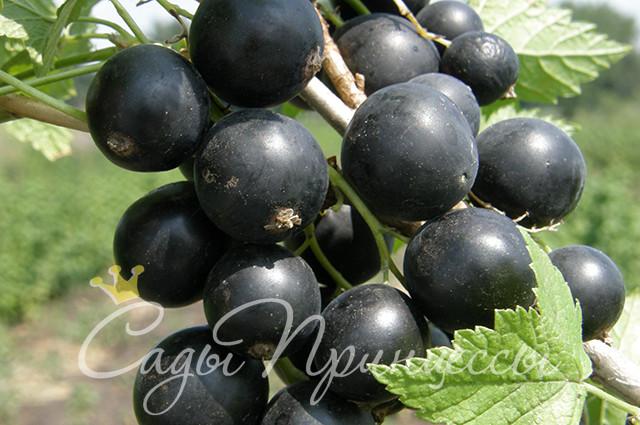 На фото сорт Смородина черная Перун