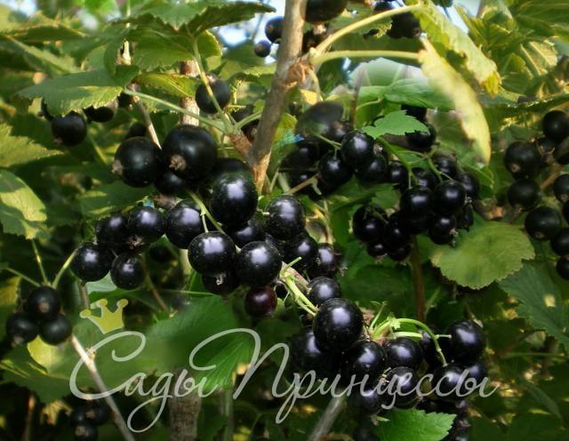 На фото сорт Смородина черная Селеченская 2