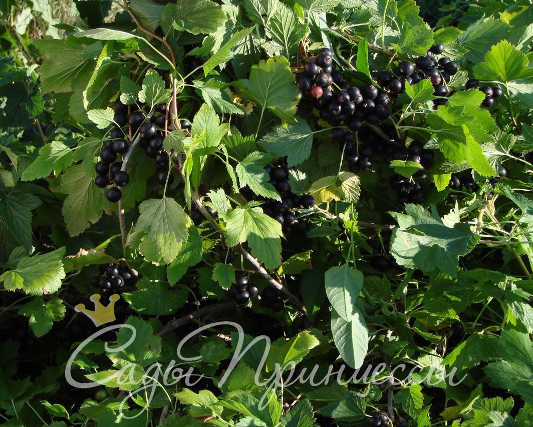 На фото сорт Смородина черная Талисман