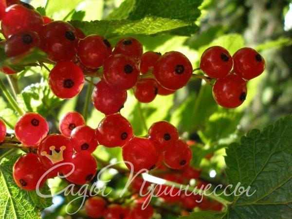 На фото сорт Смородина красная Натали