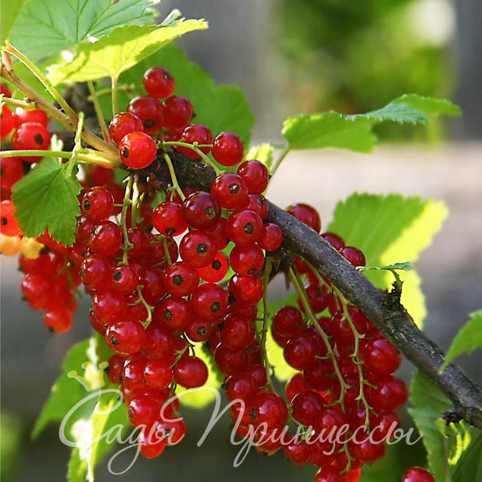 На фото сорт Смородина красная Нива