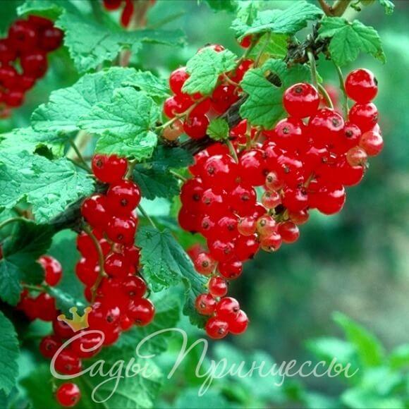 На фото сорт Смородина красная Огни Урала