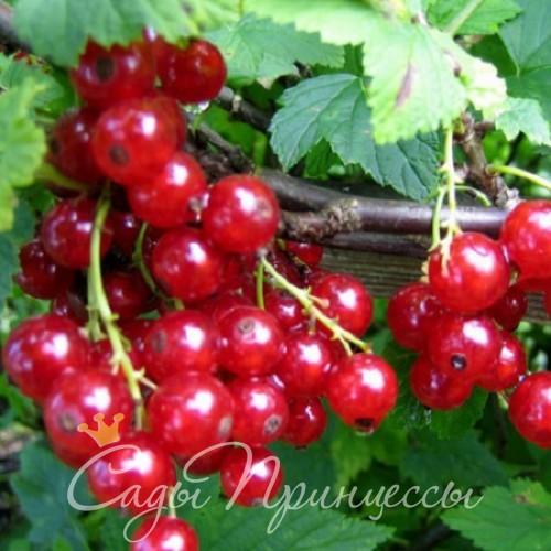 На фото сорт Смородина красная Орловчанка
