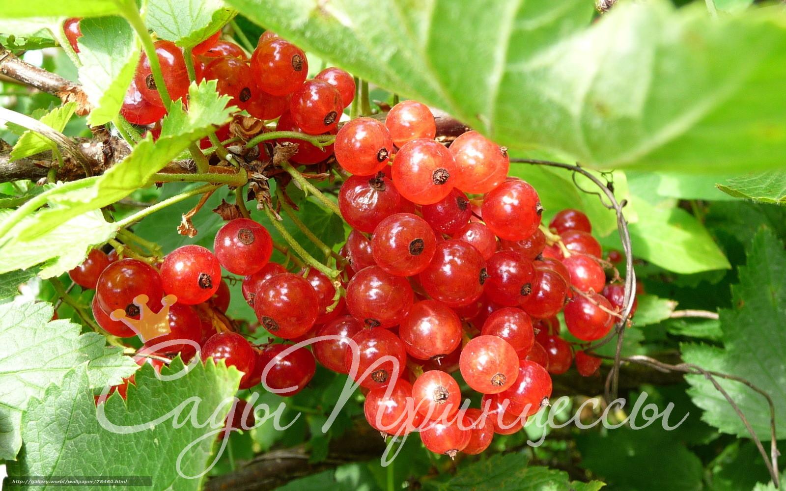 На фото сорт Смородина красная Поляна