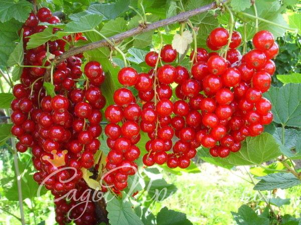 На фото сорт Смородина красная Сахарная