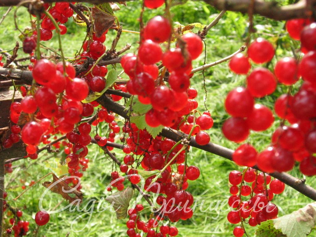 На фото сорт Смородина красная Щедрая