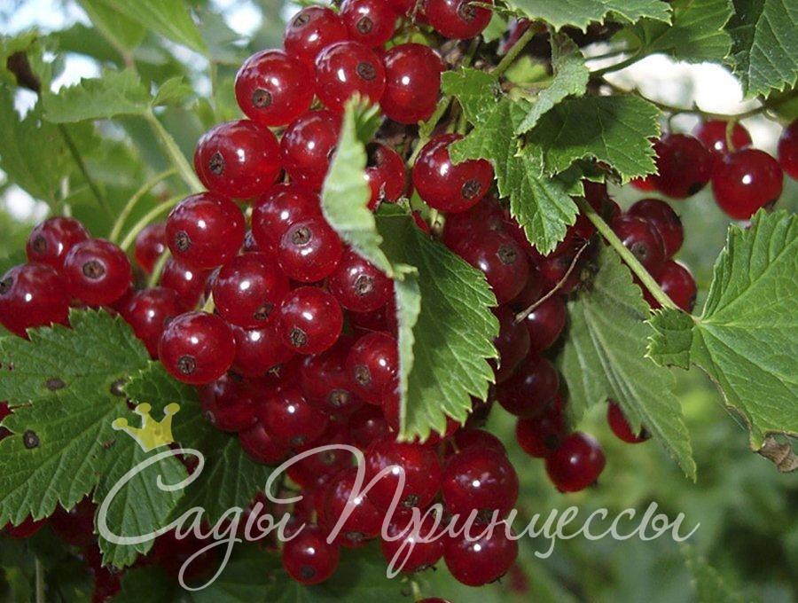 На фото сорт Смородина красная Версальская красная