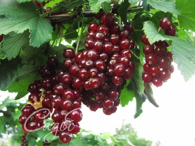 На фото сорт Смородина красная Вишневая