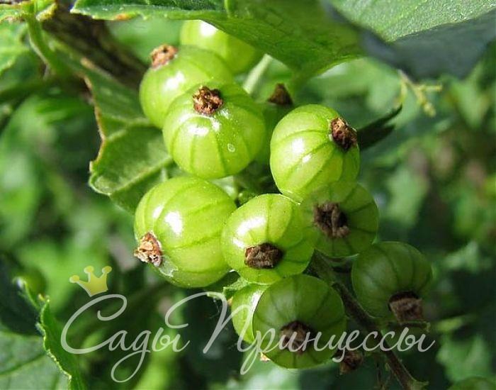 На фото сорт Смородина зеленая Изумрудное ожерелье