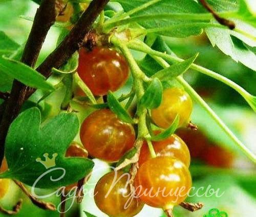 Фото Смородина золотистая Золотая гроздь