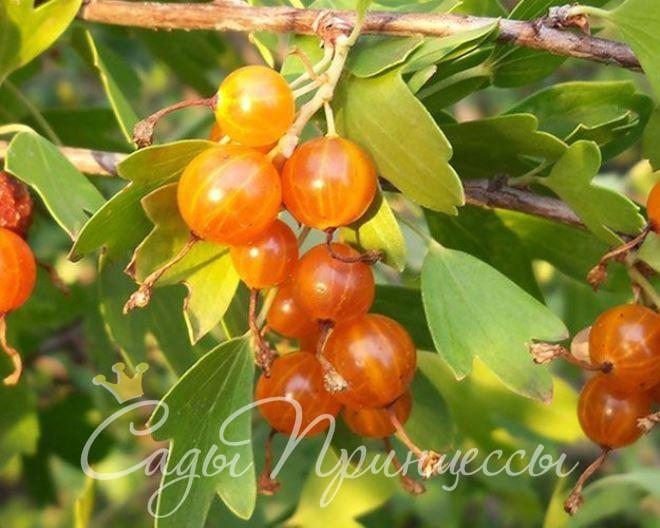 На фото сорт Смородина золотистая Золотая гроздь