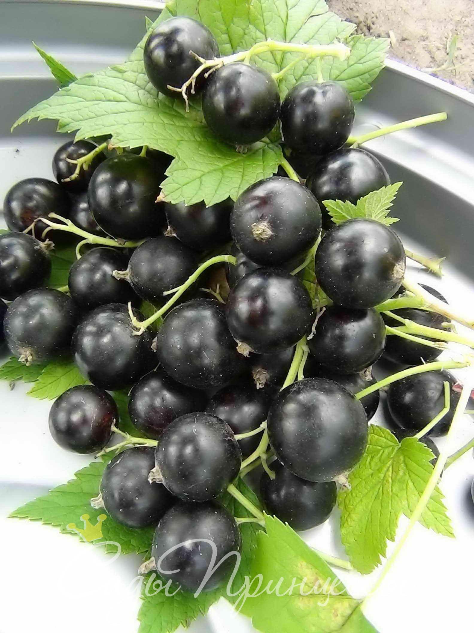 На фото сорт Смородина черная Вернисаж