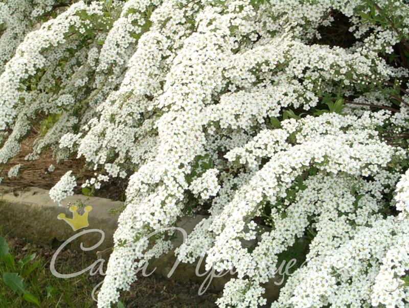 Фото Спирея Белая Невеста (Вангутта)