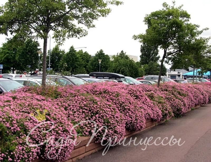 Фото Спирея японская Литл Принцесс (Spiraea japonica Little Princess)