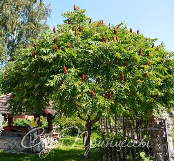 Фото Сумах оленерогий (или Пушистый, Уксусное дерево);