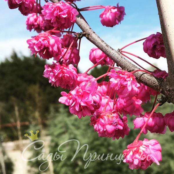 На фото саженцы Церцис Канадский Пинк Пом Помс (Cercis Сanadensis Pink Pom Pom)