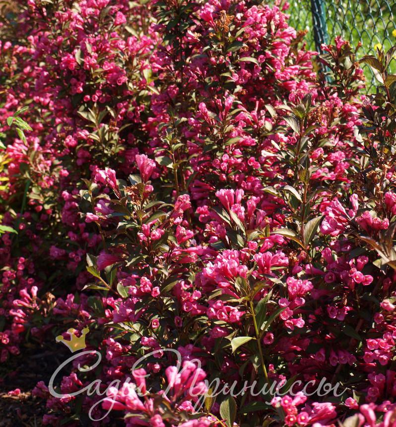 На фото саженцы Вейгела цветущая Виктория (Weigela Victoria)